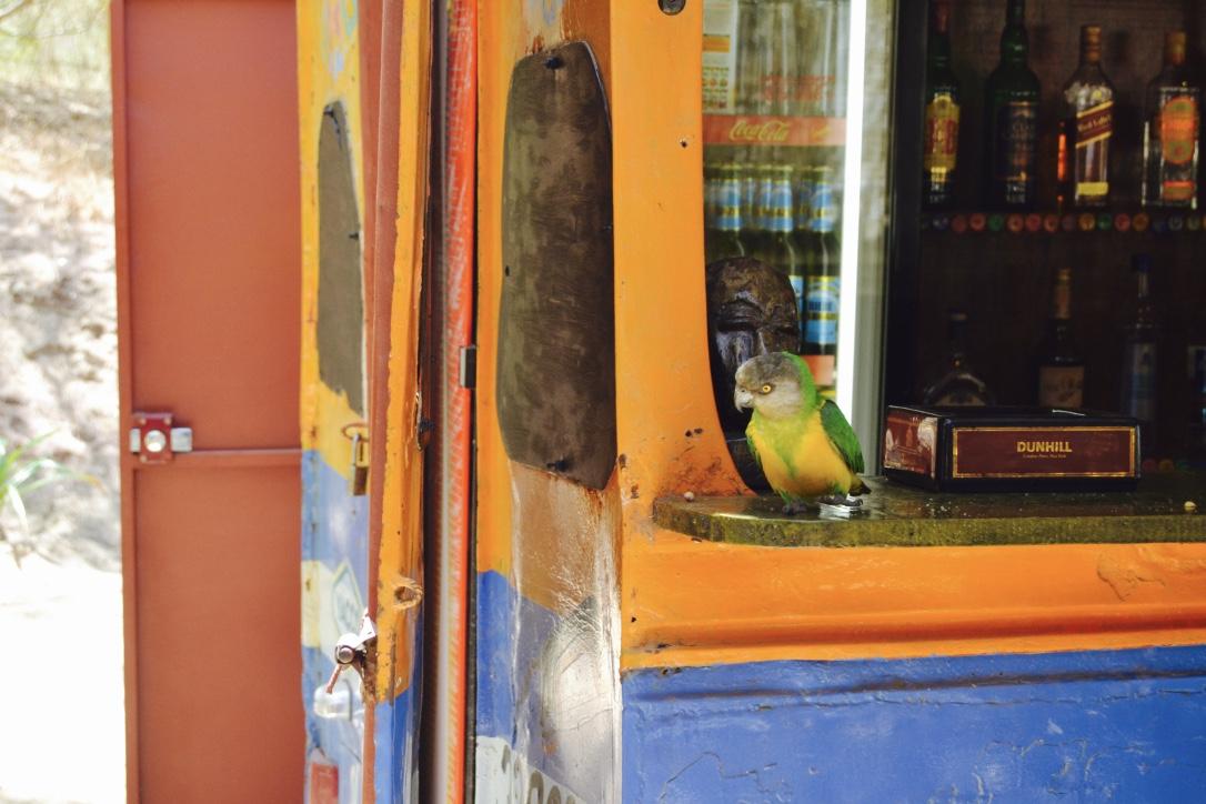 parrot senegal